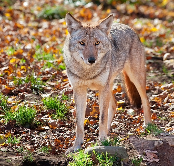 Coyote Lure