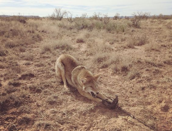 Coyote lure lure tips for hunting coyotes hunting blog the best coyote lure sciox Image collections