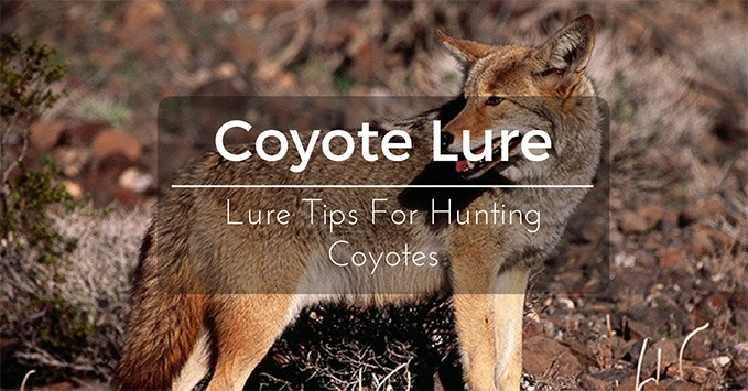 Coyote lure lure tips for hunting coyotes hunting blog coyote lure sciox Image collections