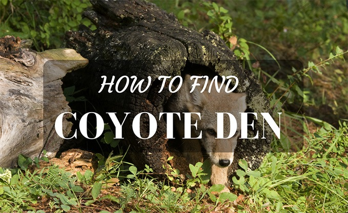 How To Find Coyote Den
