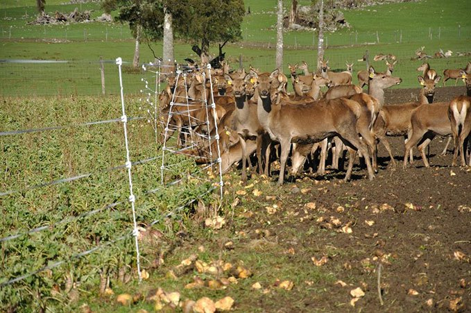 Deer love turnips