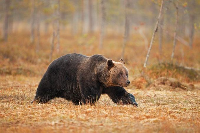 Where to Shoot a Bear