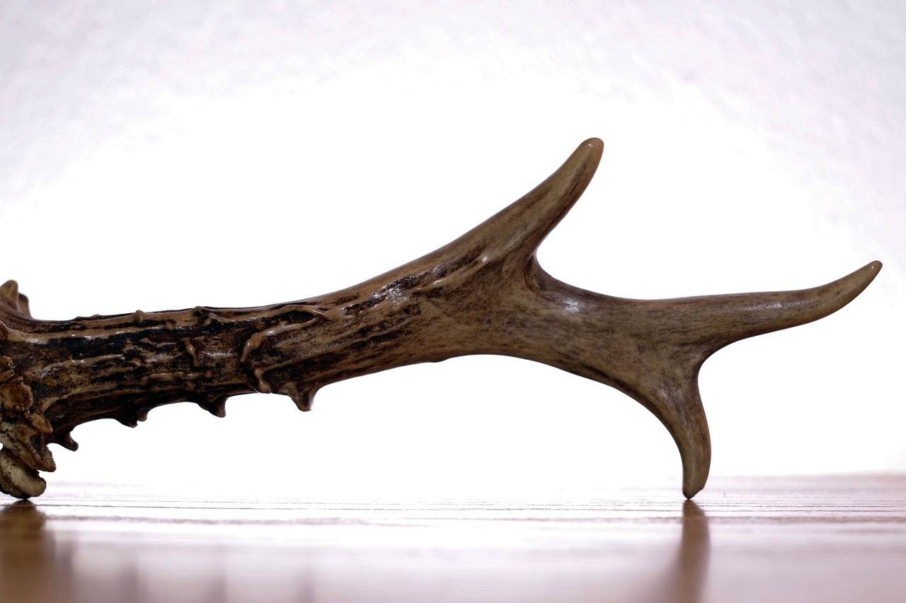 an antler displayed as trophy after the hunting game