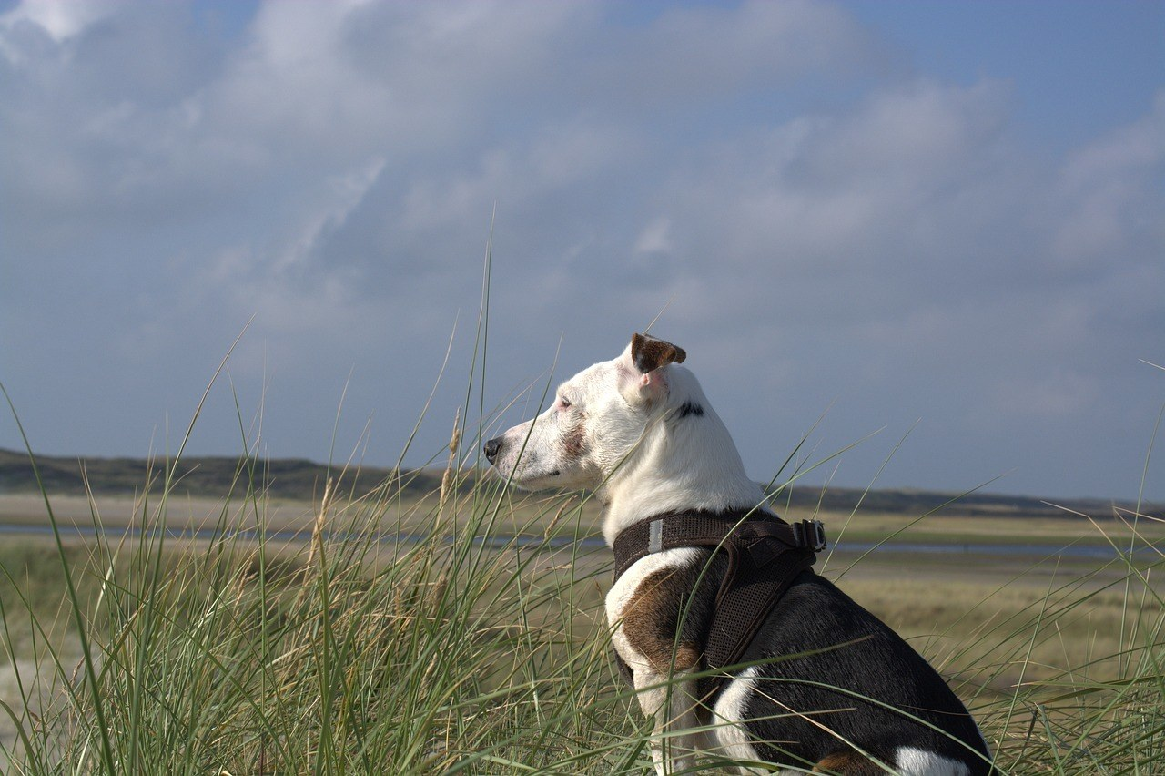 a jack russell terrier dog in an open field to hunt